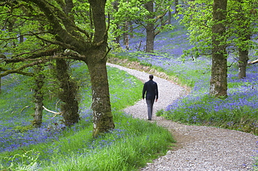 Man walking along a path in a bluebell wood, Stirlingshire, Scotland