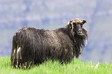 Faroese sheep beginning to moult, Eysturoy, Faroe Islands