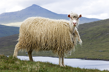 Faroese sheep beginning to moult, Sorvagsvatn, Vagar, Faroe Islands