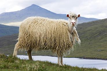 Faroese sheep beginning to moult, Sorvagsvatn, Vagar, Faroe Islands