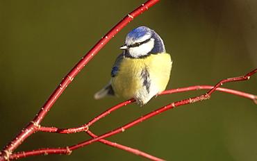 blue tit: parus caeruleus meikleour, perthshire, scotland