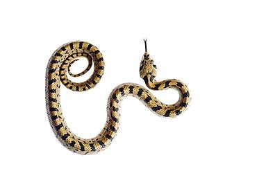 Juvenile ladder snake (Elaphe scalaris), Alicante, Spain