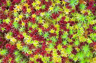 Polytrichum and Sphagnum mosses growing together, Inverness-shire, Scotland, UK