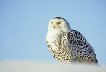 snowy owl: nyctea scandiaca female against sky - captive a ngus, scotland