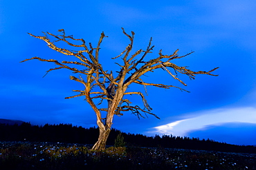 Scots pine after dark, Glenmore, Scotland