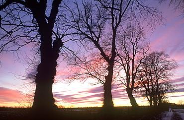 wych elm, ulmus glabra, at sunset angus, scotland