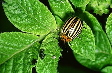 colorado beetle: leptinotarsa decemlineata adult on potato plant pasiene, latgale, latvia