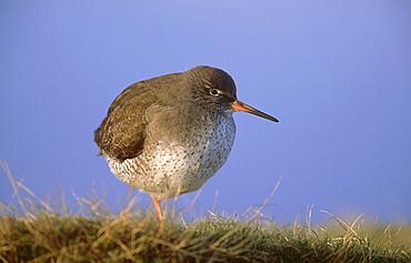 redshank: tringa totanus, at high tide. jan montrose basin, angus,scot.