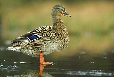 mallard: anas platyrhynchos female on ice braemar, deeside, scotland