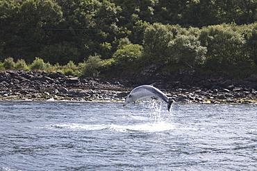 Common Bottlenose Dolphin (Tursiops truncatus truncatus). Hebrides, UK.