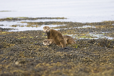 Eurasian river otters (Lutra lutra) resting.  Otters take regular breaks during their foraging activities, often choosing high points or islets just offshore in order to sleep, preen and play.  Hebrides, Scotland