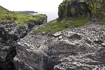 Guillemot (Uria aalge) and razorbill (Alca torda) colonies on Harp Rock, Lunga.  Hebrides, Scotland