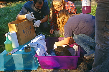 Seal rescue.  Rescuers administer first aid to young common seal pup (Phoca vitulina). Hebrides, Scotland