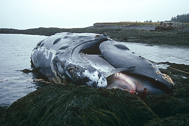 Northern right whale (Eubalaena glacialis). Identified as 'Delilah', this right whale washed up dead in 1992, probably another shipstrike victim. Grand Manan, Bay of Fundy, Canada