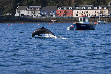 Bottlenose dolphins (Tursiops truncatus) in Tobermory Bay - home of Balamory TV show. This group of dolphins are resident in the Hebrides but are hard to find and not well understood. They rarely come into the this harbour but photographer Nic Davies was ready with his camera and kayak to get these great, low angle shots.