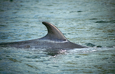 Minke whale (Balaenoptera acutorostrata). Damage to dorsal fins is often used for photo-identification purposes but even simply the shape of a 'clean' fin such as this may be identifiable.  Hebrides, Scotland