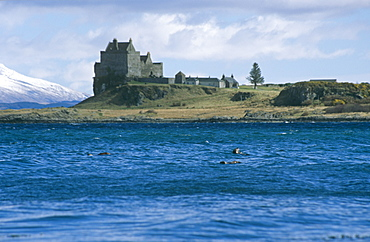 Eurasian river otters (Lutra lutra) by Duart castle.  Duart Castle has been the home of the Clan Maclean since the 14th century. Isle of Mull, Scotland