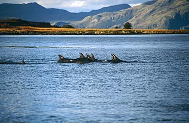Bottlenose dolphins (Tursiops truncatus). Hebrides, Scotland