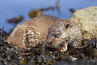 Eurasian river otter (Lutra lutra) eating fish, long-spined bullhead (Taurulus bubalis).  Hebrides, Scotland