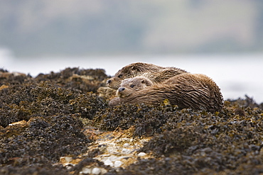 Eurasian river otter (Lutra lutra) mother and cub resting in seaweed.  Hebrides, Scotland