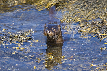 Eurasian river otter (Lutra lutra) foraging in and among the seaweed.  Otters on Scotland's west coast and islands have adapted well to making a living in the marine environment.  Hebrides, Scotland   (RR)
