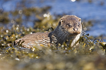 Eurasian river otter (Lutra lutra) having caught Greater spotted dogfish (Scyliorhinus stellaris). The otter took only the innards of the dogfish by opening a short section of skin behind the pectoral fin (see images under 'Greater spotted dogfish').  Hebrides, Scotland   (RR)