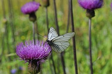 Black-veined white butterfly (Aporia crataegi) feeding from Pannonic thistle (Cirsium pannonicum), Julian Alps, Slovenia, Europe - 989-108