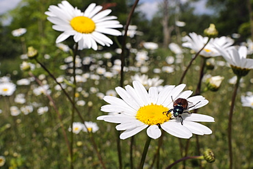 Garden chafer (Phyllopertha horticola) on ox-eye daisy (marguerite) (Leucanthemum vulgare) in meadow, Wiltshire, England, United Kingdom, Europe
