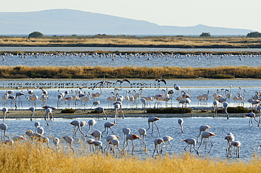 Greater flamingos (Phoenicopterus roseus), three adults land to join many others and roosting Avocets (Recurvirostra avocetta) on Kallini salt pans during the autumn migration period, Isle of Lesbos (Lesvos), Greece.