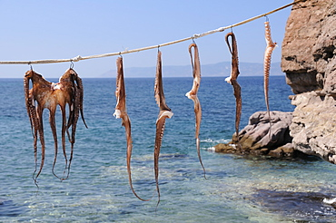 Whole Common Octopus (Octopus vulgaris) and pairs of tentacles hanging in the sun before cooking, Skala Sikaminia harbour, Lesbos (Lesvos), Greece.