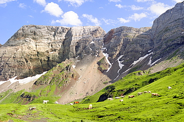 Lourdaise domestic cattle (Bos taurus) grazing pastureland at 2100m at the Cirque de Troumouse, Pyrenees National Park, Hautes-Pyrenees, France, Europe