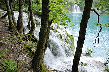 Sycamore trees (Acer pseudoplatanus) and waterfalls fringe Milanovac Lake, Plitvice Lakes National Park, UNESCO World Heritage Site, Croatia, Europe
