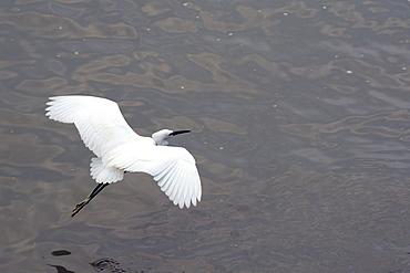 Little egret (Egretta garzetta) flying low over the Tamsui River estuary, Tamsui (Danshui), Taiwan, Asia