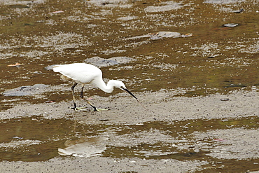 Little egret (Egretta garzetta) pulling a worm from mudflats at low tide, Hongshulin Mangrove Preserve, Taiwan, Asia
