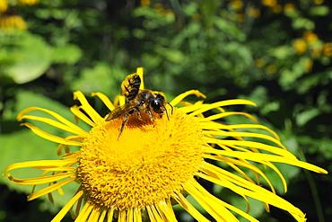 Leafcutter bee (Megachile sp.) feeding from flowerhead of heartleaf oxeye (giant oxeye daisy) (Telekia speciosa), Slovenia, Europe