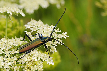 Musk beetle (Aromia moschata) foraging on wild carrot (Queen Anne's lace) (Daucus carota) flowerhead in a hay meadow, Slovenia, Europe