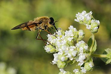 Horse fly (Pangonius pyritosus) foraging for nectar on Cretan oregano (Origanum onites) flowers, Lesbos (Lesvos), Greece, Europe