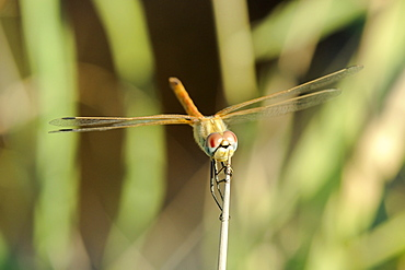 Female red-winged darter dragonfly (Sympetrum fonscolombii) female, clasping spiky stem of Juncus rush, Lesbos (Lesvos), Greece, Europe