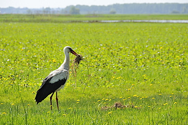 White stork (Ciconia ciconia) adult collecting nest material on Narew marshes in spring, Podlaskie, Poland.