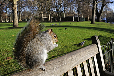 Grey squirrel (Sciurus carolinensis) standing on bench eating some apple given to it by a tourist, St. James's Park, London, England, United Kingdom, Europe