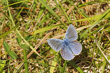 Common blue butterfly (Polyommatus icarus) sun basking on grass stem in limestone meadow, Wiltshire, UK. MORE INFO: Butterfly family Lycaenidae.