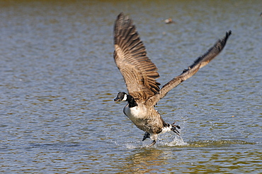 Canada goose (Branta canadensis) running on surface of a lake and flapping hard to take off, Wiltshire, England, United Kingdom, Europe