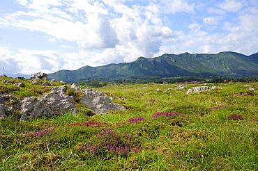 Mediterranean heather (Erica multiflora) flowering with Picos de Europa mountains in the background, Ribadesella, Asturias, Spain, Europe