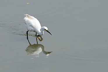 Little egret (Egretta garzetta) adult stalking fish, reflected in water surface, Danshuei river estuary, Taiwan.