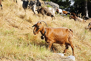 Domestic goat (Capra hircus) adult with bell among herd climbing grassy slope on Mount Olympus, Greece.