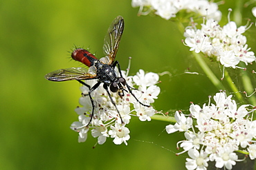Parasite fly or Tachinid fly (Cylindromyia bicolor) feeding on Wild angelica (Angelica sylvestris) umbel flowers, Corsica, France.  MORE INFO: Parasite fly or Tachinid fly family Tachinidae, plant family Apiaceae.
