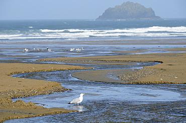 Herring gull (Larus argentatus) adult standing in freshwater stream flowing across Polzeath beach, Cornwall, UK.