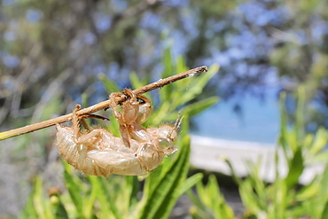 Cicada (Cicada mordoganensis) nymphal exuvium on tree trunk, Potami beach, Samos, Greece, Europe