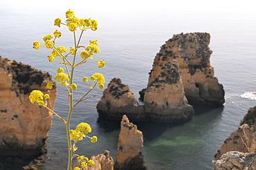 Giant fennel (Ferrula communis) flowering on clifftop with sandstone seastacks in the background, Lagos, Algarve, Portugal, Europe