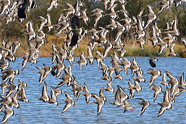 Black-tailed godwit (Limosa limosa) flock flying low over a shallow lake, Gloucestershire, UK, February.